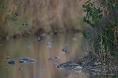 La joyeuse bande (1) (denis.loyaux) Tags: chardonneretlgant cardueliscarduelis europeangoldfinch passriformes fringillids domainedesoiseaux mazres midipyrnnes france oiseaux birds nikond5 nikkor200500f56