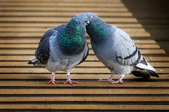 Pigeon talk (stevehimages) Tags: bird animal nature steve steveh stevehimages 2016 wowzers warden west midlands grandpas den pigeon malvern