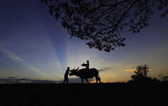 in the farm (tanongsaksangthong) Tags: animal asia asian background black boy buffalo child girl ha happy leisure lifestyle meadow outdoor people ride sunset thai thailand vietnam water white young