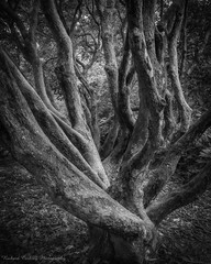 Torment (Chalky666) Tags: tree trees wood woodland garden chiddingfold ramster surrey mono