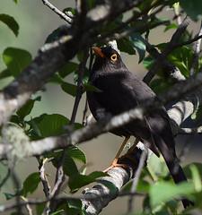 Zorzal chiguanco (anitareal) Tags: ave negro tropical subtropical hmedo libre airelibre amricadelsur foto anamariareal nikon