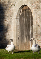 Quis custodiet ipsos custodes? (Mukumbura) Tags: swans cygnets gate guards bishopspalace wells somerset wildlife birds castle