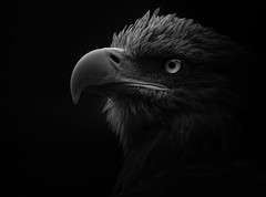 The White Tailed Sea Eagle (Billy Currie) Tags: scotland white tailed sea eagle bird prey hawk beak eye talon claws feather wings giant