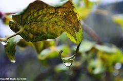gota (tonomf) Tags: agua lluvia rain gota drop naturaleza hoja nikon nikond5100