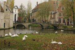 Beloved Brugge (Natali Antonovich) Tags: belovedbrugge brugge bruges belgium belgie belgique swans birds bridge landscape oldtown oldtime oldworld oldest tradition architecture pensiveautumn autumn nature harmony