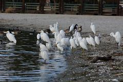 Great Egrets & Snowy Egrets (linda m bell) Tags: bonellipark sandimas california 2016 birds birdwatching greategrets snowyegrets