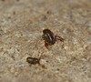 Pseudoscorpion about 1 mm Long bodied shiny False scorpion Pseudoscorpionida Chelicerata Arachnida Airlie Beach rainforest P1130125 (Steve & Alison1) Tags: pseudoscorpion about 1 mm long bodied shiny false scorpion pseudoscorpionida chelicerata arachnida airlie beach rainforest