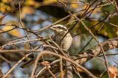 Waiting in ambush (rdroniuk) Tags: birds passerines shrike northernshrike laniusexcubitor oiseaux passereaux piegrièchegrise sedgewickforestoakville