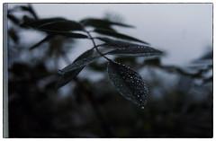 Rain.Dops (1911terryjpratt) Tags: bwflowers leafs leaves bw flowers plants macro wildlife landscape nature spring trees photo border abstract fern maidenhairfern blackandwhite monochrome