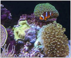 Maison de Nemo  [House of Nemo] (jacques-tati) Tags: fish poissons amphiprion ocellaris nemo aquarium corauxmous corail