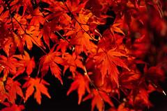 The Red (peaceful-jp-scenery (busy)) Tags: mtfuji lakekawaguchi autumn leaves leaf maple festival lighting momijikairo fuji5lakes kawaguchiko         sony 7r a7r ilce7r emount fe24240mmf3563oss