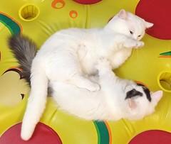 Paw punch!  # # # # # #goboogi #chobee #munchkin #cat #bromance # # # # # # # # (Goboogi.Munchkin) Tags:   goboogi  munchkin     chobee bromance  cat