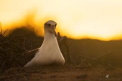 Sunset Albatross (santosh_shanmuga) Tags: laysan albatross seabird bird birding aves wild wildlife nature animal outdoor outdoors nest nesting egg nikon d4 500mm hi hawaii oahu kaena point sunset orange sunrise fire sun