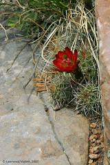 IMG_7727a copy (l.e.violett) Tags: nature plants cacti flowering echinocereus triglochidiatus mogollog arizona claretcup