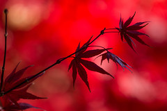 November fire (Irina1010 - out) Tags: red color maple redleaves bokeh colorful november beautiful vibrant nature canon ngc