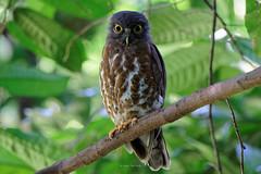 DSC06357_DxO_LR (teckhengwang) Tags: sony a77ii a77mii a77m2 a77mkii a77mk2 sal70400g brown hawk owl dyxum