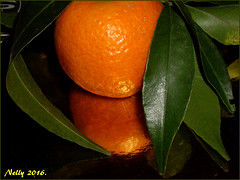 *Now..... (MONKEY50) Tags: art pentaxart orange green nature fall fruit macro flickrawrd digital leaf mandarin plant colors musictomyeyes autofocus pentaxflickraward contactgroups hypothetical exoticimage greenscene beautifulphoto macroelsalvador