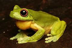 Red Eyed Tree Frog (Mitch Thorburn) Tags: red eyed southern orange tree frog litoria springbrook mountain national park herp herping