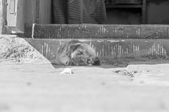 Lazy Pup
