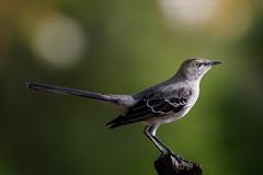 Mockingbird (Patricia Ware) Tags: 600mmef600mmf4lisiiusm california canon mimuspolyglottos northernmockingbird palosverdespeninsula httppwarezenfoliocom ©2016patriciawareallrightsreserved playadelrey unitedstatesofamerica specanimal