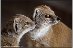 Yellow Mongeese (?) (Antirrhinum) Tags: marwellzoo mongoose yellowmongoose