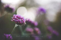 Last Colours Of Autumn (DefinitelyDreaming) Tags: flowers floral garden 85mm bokeh sonya99 autumn lightroom