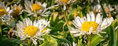 Daisies in the Field.jpg (Eye of G Photography) Tags: usa macro sunset northamerica daisys fortcasey lowangle sunsetsunrise washingtonstate whidbeyisland yellow places white