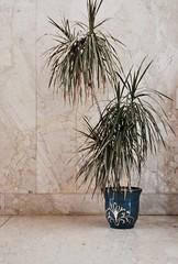 (evanacc) Tags: plant vase blue minimal