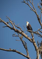 Okavangodelta (lia_118) Tags: afrika safari okavangdelta afrikanischer seeadler2 afrikanischerseeadler