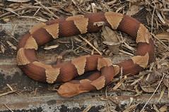 Broad-banded Copperhead (J T Williams) Tags: texas snake venomous copperhead agkistrodon