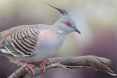 Crested Pigeon (0cyphaps lophotes) (Ian Colley Photography) Tags: crestedpigeon 0cyphapslophotes inverell bird canoneos7dmarkii 500mm backyard