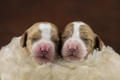 Just the two of us (ToriAndrewsPhotography) Tags: pet portrait cockerpoo puppies dogs swaddling cute photography andrews tori