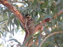 Ladder-backed Woodpecker - Arizona by SpeedyJR (SpeedyJR) Tags: 2016janicerodriguez sweetwaterwetlands tucsonaz ladderbackedwoodpecker woodpeckers birds wildlife nature tucsonarizona arizona speedyjr