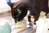 Ozzy the Cat Caught in the Act (arrancat) Tags: cat kitten ozzy alderney cake mixture bowl