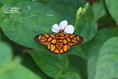 The Hieroglyphic Flat -  (Antonio Giudici Butterfly Trips) Tags: thailand ranong butterflies lepidoptera thehieroglyphicflat  hesperiidae pyrginae odinahieroglyphicaortygia