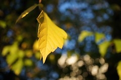 yellow leaf (chisato tanaka) Tags: winter leaves 冬 葉 葉っぱ leaf