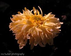 Pictures.... (itucker, thanks for 2.6+ million views!) Tags: mum chrysanthemum macro dukegardens flyingsaucer
