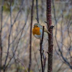 Glenfinnan Robin (Damon Finlay) Tags: scottish highlands scottishhighlands lochaber nikon d750 nikond750 tamron 2470 f28 tamron2470f28 islands highlandsandislands scotland mountains birds robinredbreast robin wildlife