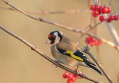 Goldfinch-1340 (Kulama) Tags: goldfinch birds nature wildlife woods bush berry animals autumn autumncolours canon7dmarkii sigma150600c563