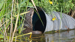 Otter (image 3 of 3) (Full Moon Images) Tags: animal mammal suffolk wildlife lakes otter trust lackford