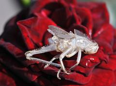 l'ultimo giaciglio (Roberto Gramignoli) Tags: insetti esoscheletri macro insetto esoscheletro giacilio