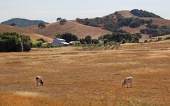 Grazin' in the Grass (skipmoore) Tags: rural cattle cows sonomacounty grazing