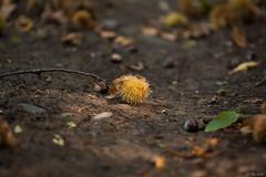 Autunno-2015-2 (Federico Fazzini) Tags: autumn italy colors forest raw liguria file autunno colori bosco foresta 200mm montoggio canon5dmarkiii federicofazzini