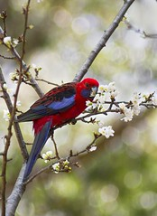 Eastern Rosella in Blossom Tree (aussiegall) Tags: