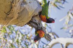 Rainbow Lorikeets 2015-09-20 (_MG_5614) (ajhaysom) Tags: australia melbourne rainbowlorikeet australianbirds trichoglossushaematodus greenvale canoneos60d sigma150600 woodlandshistoricpark