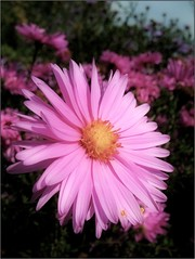 (Tlgyesi Kata) Tags: autumn macro blossom pinkflower botanicalgarden aster vcrtt michaelmasdaisy asternovibelgii botanikuskert vcrttibotanikuskert withcanonpowershota620 nemzetibotanikuskert nvnyrendszertanigyjtemny velszirzsa systematicalcollection phylogeneticplantcollection kopaszszirzsa