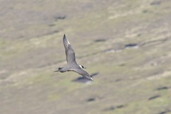 Parasitic Jaeger (Common Buzzard) Tags: birds scotland shetland seabirds foula parasiticjaeger skuas