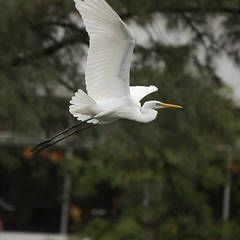 DSC03265_cr (rickytanghkg) Tags: bird animal hongkong sony aves 70300mm egret taipo 70300g a550 sonya550