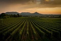 Hegymagas, Hungary (zedspics) Tags: autumn fall vineyard hungary harvest grape balaton magyarország 1510 szigliget hegymagas szentgyörgyhegy szászi