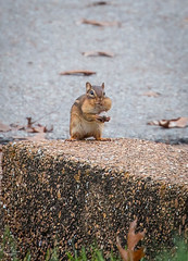 Let's see if I can cram this one in! (SouthernShutterbug) Tags: tn critter chipmunk